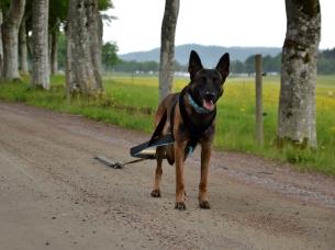 Att dra kätting är ett bra och skonsamt sätt att fysträna sin hund!